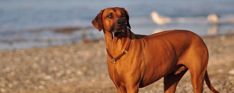 Rhodesian Ridgeback In Not Ev
