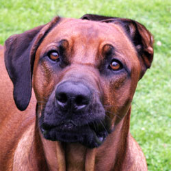 Rr In Not Hunde Rhodesian Ridgeback In Not Ev